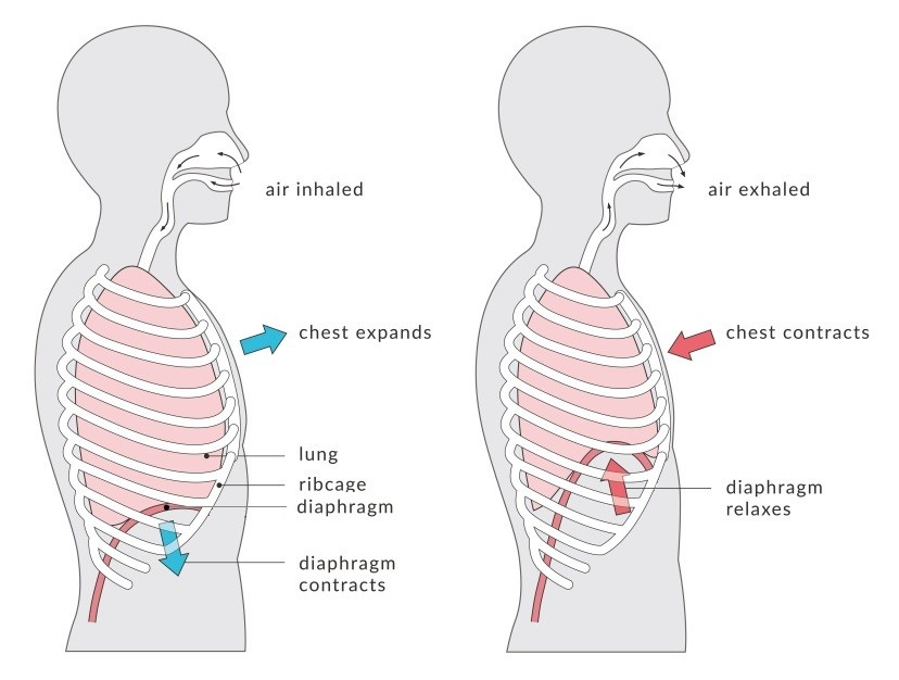 Diagram for Breathing