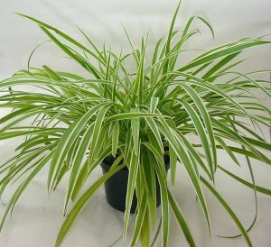 spider-plant-revised-2
