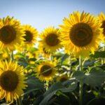meme close up sunflowers