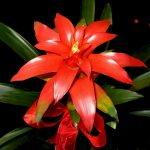 scarlet-star