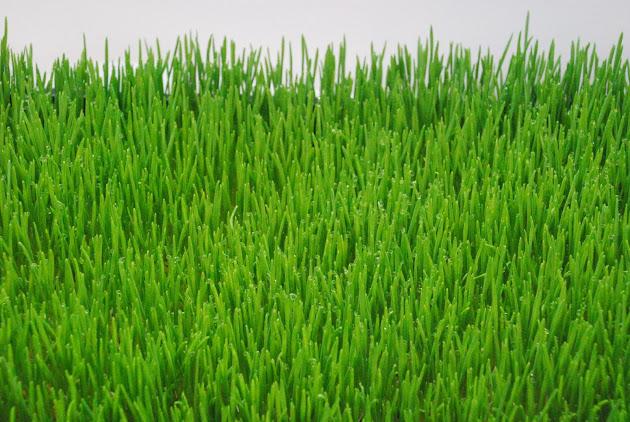 wheatgrass1
